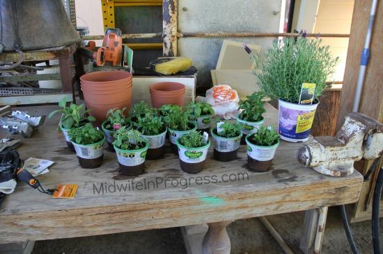 Herbs before transplanting